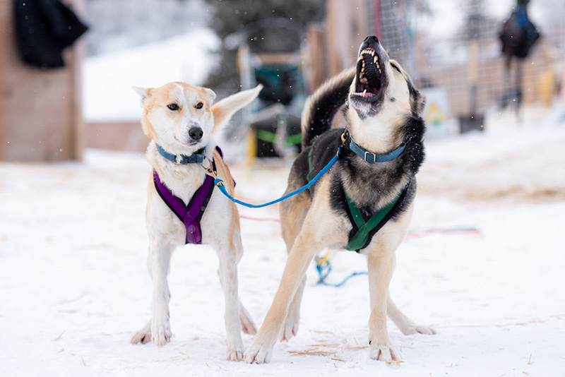 Sled dogs eager to go