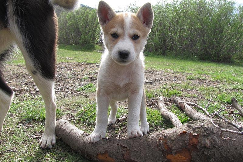 sled dog puppy