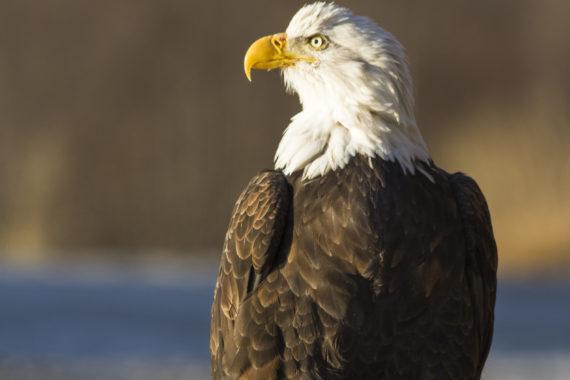 Bald Eagle Yukon