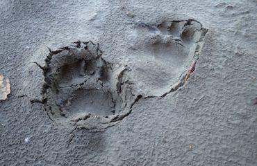 Black Bear Tracks Yukon River